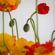 Poppies-17